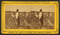 Picking cotton, from Robert N. Dennis collection of stereoscopic views 2.png