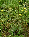 Picris hieracioides PID1775-1.jpg