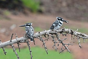 Pied kingfishers, Botswana 01.jpg