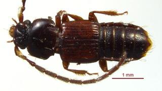 <i>Piestus extimus</i> Species of beetle