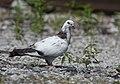 Pigeon (48082942437).jpg