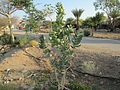 PikiWiki Israel 35851 Sodom Apple tree in Kibbutz Elifaz.JPG