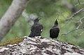 Pinarornis plumosus, Mutirikwi-meer, Masvingo, Birding Weto, a.jpg