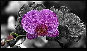 Phalaenopsis - Pink Phalaenopsis