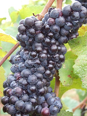 Ripeness in viticulture - Pinot noir grapes that are destined for sparkling wine will be considered ripe much earlier than Pinot noir destined for still red wine.