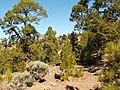 Pinus canariensis PICT3076.jpg