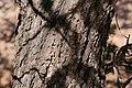 Pinus edulis - Flickr - aspidoscelis (7).jpg
