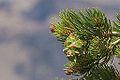 Pinus edulis cone, Grand Canyon, AZ.jpg