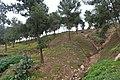 Pinus halepensis kz23 (Morocco).jpg