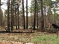 Pinus ponderosa Cape Royal2.jpg