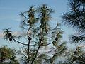 Pinus sabiniana Mount Diablo 0.jpg