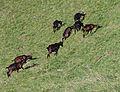 Pinzgauer Ziegen auf Bergweide in Rauris, Land Salzburg, Österreich 01.JPG