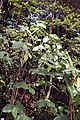 Piper auritum 28zz.jpg
