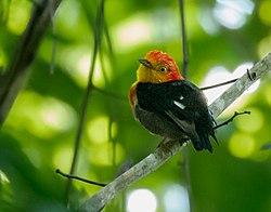 Pipra aureola - Crimson-hooded Manakin (male), Itacoatiara, Amazonas, Brazil.jpg