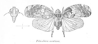 Lophopidae family of insects