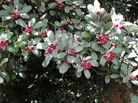 Pittosporum crassifolium (foliage & flowers).jpg