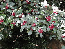 Pittosporum crassifolium (foliage & flowers).jpg
