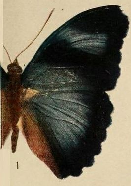 Pl.09-01-Euphaedra hollandi Hecq, 1974, male.JPG