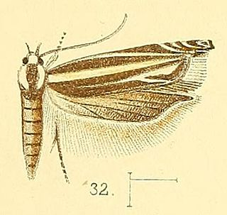 <i>Polyhymno</i> genus of insects
