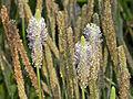 Plantaginaceae - Plantago holosteum.JPG