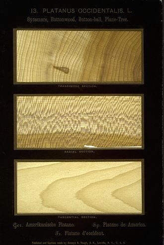 Platanus occidentalis - Wood of the Platanus occidentalis. From Romeyn Beck Hough's fourteen-volume work The American Woods, a collection of over 1000 paper-thin wood samples representing more than 350 varieties of North American tree.