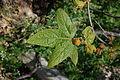 Platanus racemosa-14.jpg
