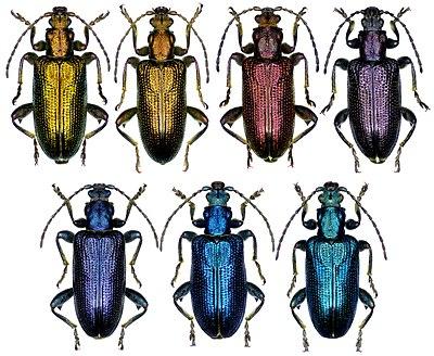 Plateumaris sericea (Linnaeus, 1758) imago color variations.jpg