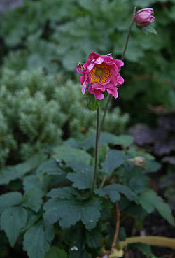 Plattfields smallpinkflower.jpg