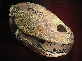 Skull roof - Skull of Platycephalichthys, a sarcopterygian. Most of the roofing over the cheek region is formed by the operculum.