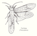 Plecoptera-perlidae2-sp.png