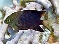 Plectroglyphidodon lacrymatus Maldives.JPG