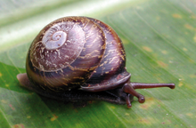 live brown snail with brown shell