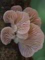 Pleurotus djamor (Pleurotaceae) (19216460702).jpg