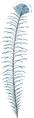 Plume de Goura (Millot-1907).png