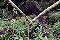 Plumeria rubra 15zz.jpg