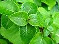 Podlaskie - Suprasl - Kopna Gora - Arboretum - Hydrangea petiolaris - leaves.JPG