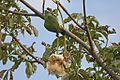 Poicephalus senegalus -Gunjur, Western Division, Gambia-8 (2).jpg