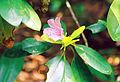 Pojedynczy rododendron 334.jpg