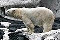 Polar Bear (8793389377).jpg