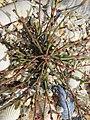 Polygonum oxyspermum subsp. raii plant (03).jpg
