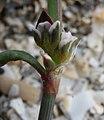 Polygonum oxyspermum subsp. raii stem (04).jpg