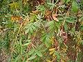 Polylepis australis leaves at Dundee Botanic Garden 2.jpg