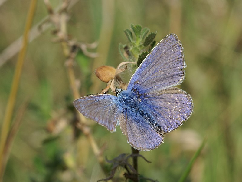 Common Blue at Oostende, Belgium