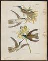 Polytmus cyanocephalus - 1820-1860 - Print - Iconographia Zoologica - Special Collections University of Amsterdam - UBA01 IZ19100221.tif