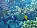 Pomacanthus imperator Maldives.JPG