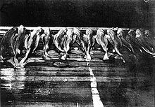 Black and white photo of a row of small sharks lying side-by-side on the deck of a fishing boat