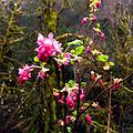Pretty in pink at Lake Creek (25556183181).jpg