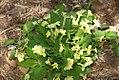 Primula vulgaris 0zz.jpg