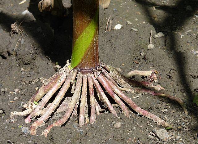 Upevňovacie korene kukurice ju chránia pred poľahnutím, vyživovacie môžu siahať aj 3,5m pod zem