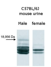 Different banding patterns of proteins from male and female mouse urine resolved by gel electrophoresis